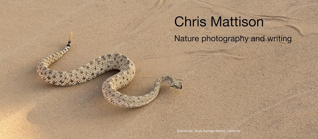 Sidewinder, Crotalus cerstastes, Anza-Borrego Desert, California